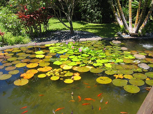 Pond with koi and lilies